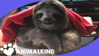 Dramatic reunion puts baby sloth back with momma