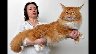 Веселые Мейн-куны: подборка приколов с забавными котиками