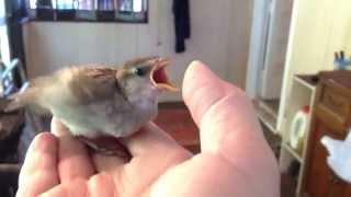 Raising A Baby Sparrow - by Mike Franzman