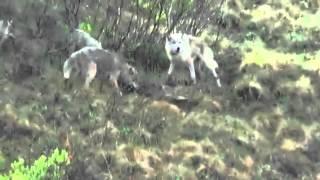 Kako vukovi ubijaju