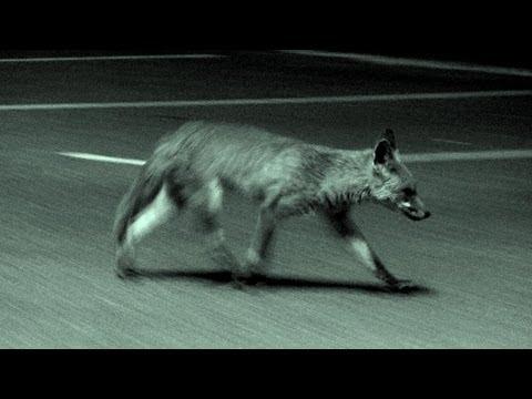 Urban fox calling in the UK
