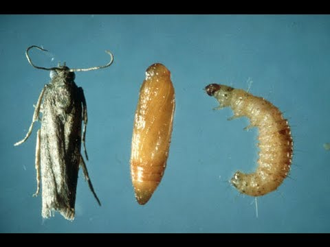Uri ng mga parasites sa ligaw