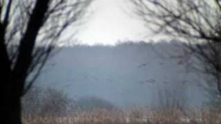 preview picture of video 'Geese in Narew Valley / Gesi nad Narwia [Kossaki]'