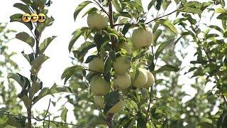 Колоновидная яблоня видео