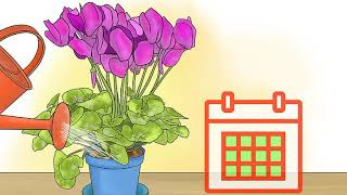 Care for Cyclamen Plants