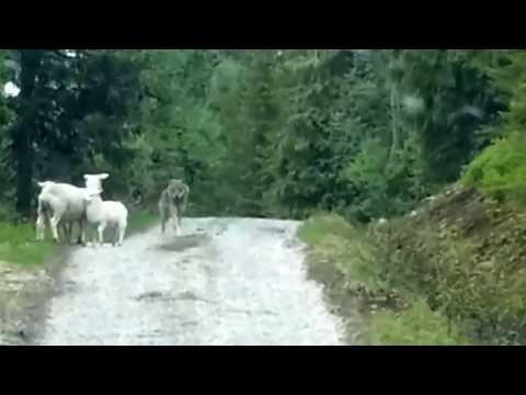 綿羊溪戰大野狼...不可思議的一幕