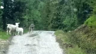 Отважная овца-мать прогоняет волка!