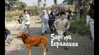 Video Sapinya Lepas Bikin Kaget - Aa Hampir dikejar Sapi MP3, 3GP, MP4, WEBM, AVI, FLV Agustus 2019