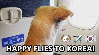 Happy Files to KOREA, United Airlines Dog In-Cabin, Dog Air Travel Experience!