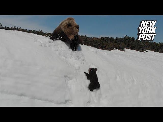 """""""ديسم مثابر"""".. كرر محاولاته حتى نجح في تسلق جبل جليدي ولحق بأمه"""