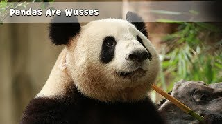 Pandas Are Wusses | iPanda