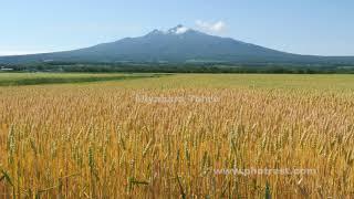 麦畑の動画素材, 4K写真素材