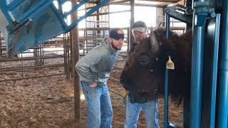 Our bison had to make a quick trip to the vet!