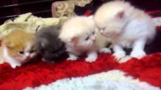 قطط صغار للبيع هاف ومون فيس - bb : 2b0e9577 _  قطط حسن