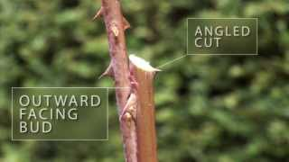 How To Prune Roses - The English Garden Magazine