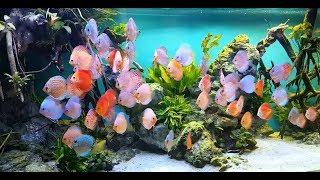Stendker Discus. New Gorgeous Video Of Kölle Zoo Stuttgart (Germany)