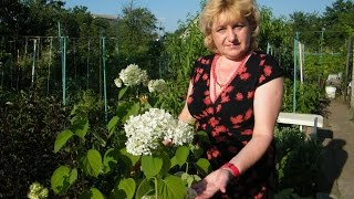 ГОРТЕНЗИЯ ДРЕВОВИДНАЯ -выращивание , уход, посадка, размножение, цветение