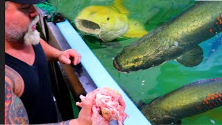FEEDING OUR MONSTER FISH in the 12,000 GALLON TANK - SHEILLA IS HEALED UP