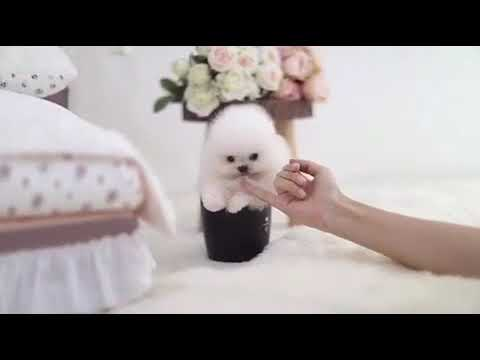Ace Micro White Pomeranian