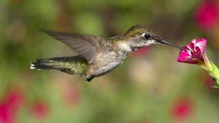Lens of Time: How Hummingbirds Hover | bioGraphic