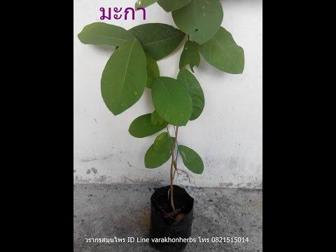 ต้นมะกา วรากรสมุนไพร โทร 0821515014 , ID Line varakhonherbs
