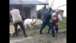 Klanje svinje