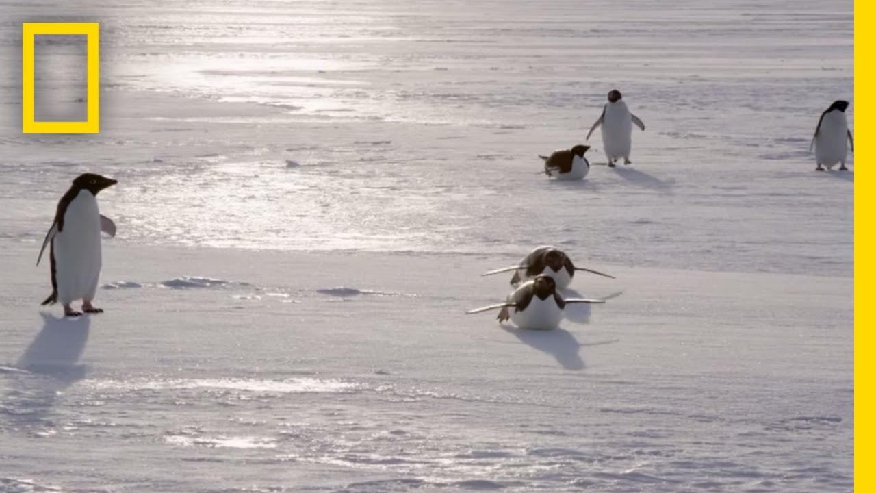 All About the Adélie Penguin | Continent 7: Antarctica thumbnail