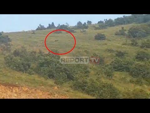 Report TV - Sulmi ndaj çobanit, një arushë u pa te trau i pagesës së Rrugës së Kombit në Kalimash