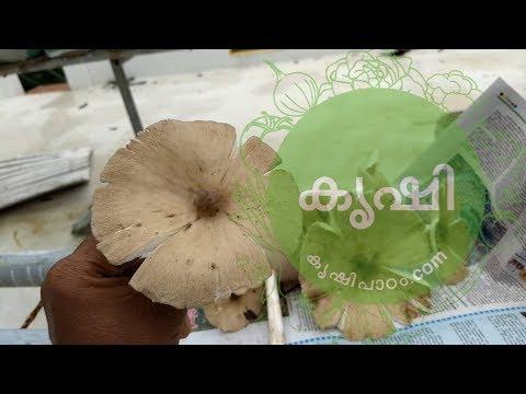 , title : 'കൂണ് അഥവാ കുമിൾ - edible natural kerala mushroom