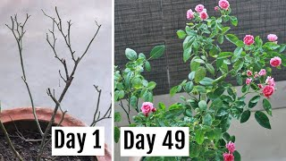 Here's How I Saved My Dying Rose Plant