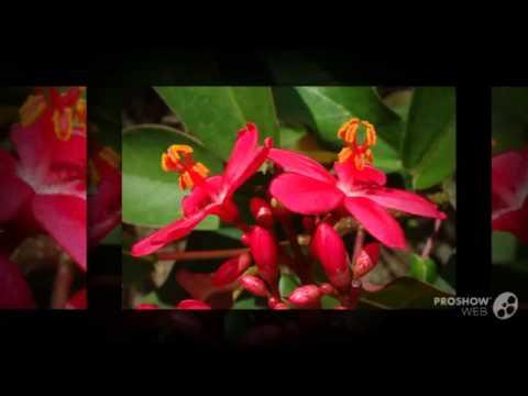 Video Jatropha - garden plants