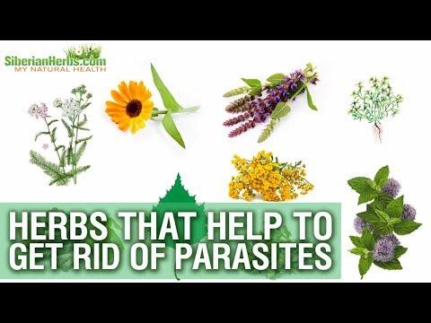 Kung parasites ay takot sa honey tubig