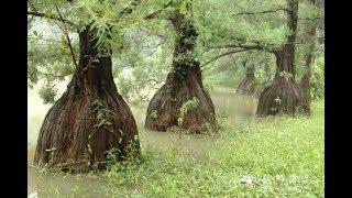 Choáng khi biết giá cây thủy tùng bị cưa trộm ở Đắk Lắk