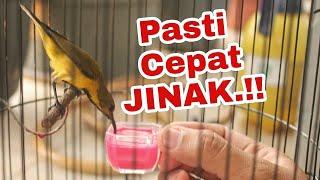 Cara Menjinakan Segala Jenis Burung KOLIBRI Tangkapan Alam LIAR..!!!