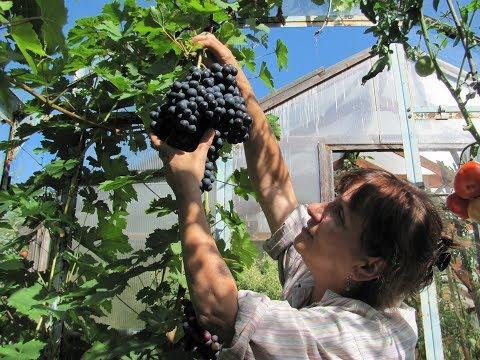 Виноград в теплице. Видео для начинающих