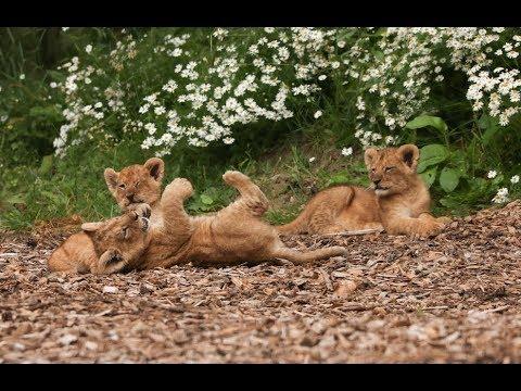 Lion Cub Cam   Live From Our Lion Enclosure