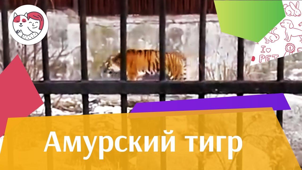 Амурский тигр Внешний вид 2 на ilikepet