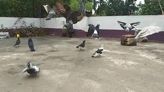 preview picture of video 'Pigeons' Fly in Slow Motion @120 fps.'