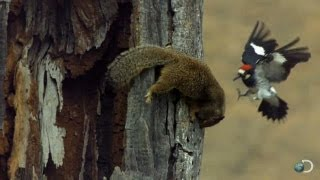 Woodpecker V. Squirrel