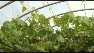 Сельские истории с Сергеем Курочкиным. Виноград в теплице