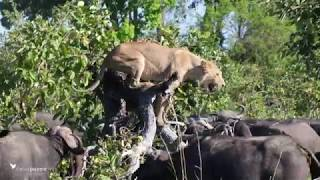 Lion versus buffalo