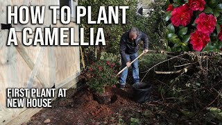 How to Plant a Camellia - First Plant at New House