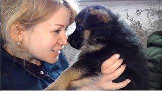 Покупка Щенка Немецкой овчарки. Как это происходит. The acquisition of a German Shepherd puppy.