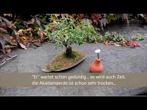 Bonsai Baum einfach Gießen für Anfänger