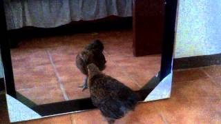 preview picture of video 'My Chicken named China's first contact with the Mirror.   MUST WATCH!!'