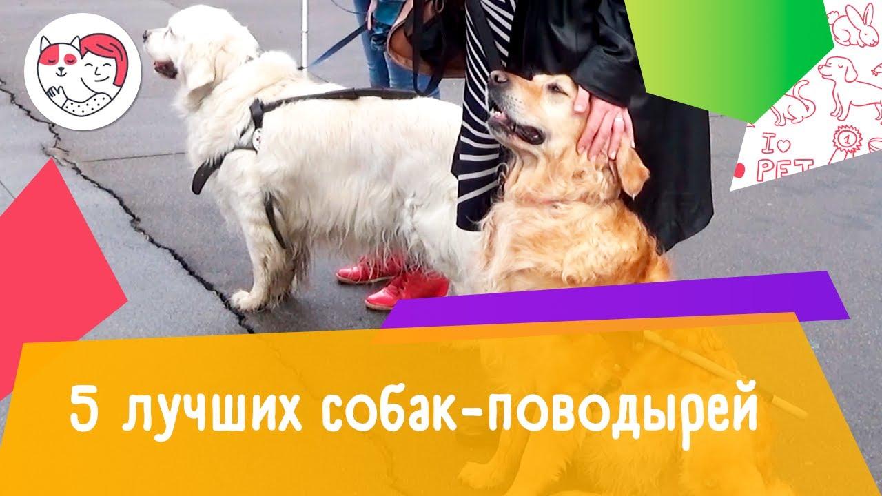 5 лучших собак-поводырей