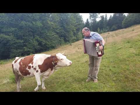 Divertido: La Vaca Que Ama La Música De Acordeón