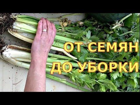 ЧЕРЕШКОВЫЙ СЕЛЬДЕРЕЙ. Когда сеять, как выращивать? Шпинат, салат, укроп, кинза.