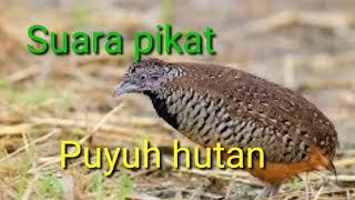 Download lagu Suara Pikat Puyuh Hutan Mp3