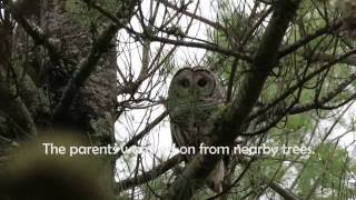 Barred Owl Chick Rescue